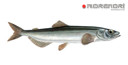 Мойва