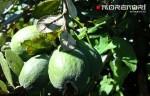 плоды фейхоа на дереве