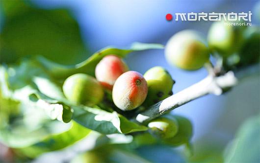 Как правильно готовить зеленый кофе