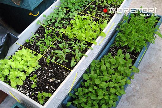 Салат на балконе выращивание пошагово.