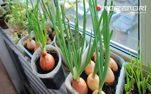 выращиваем свежую зелень