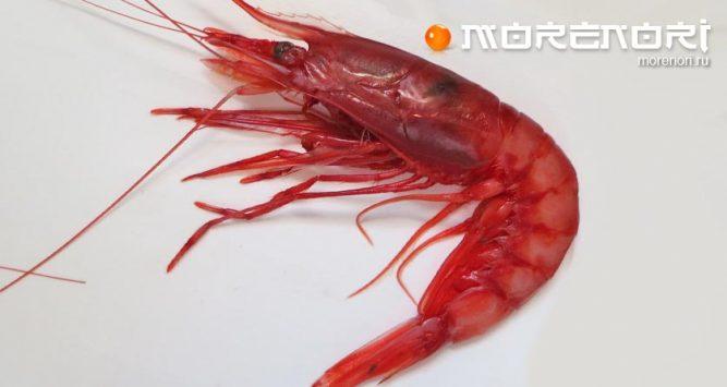 Красная глубоководная креветка